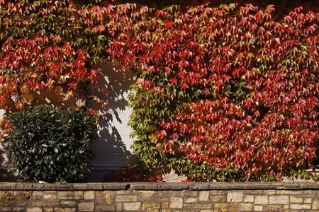 House wall with Japanese creeper, Woodbine, Boston Ivy, Germany, Europe photo