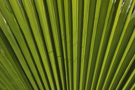 nervure: Washingtonia filifera, Northern Washingtonia, California fan palm, Desert fan palm