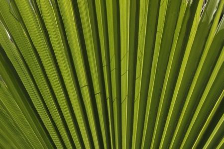 palm desert: Washingtonia filifera, Washingtonia del Nord, California Fan Palm, Palm Desert fan Archivio Fotografico