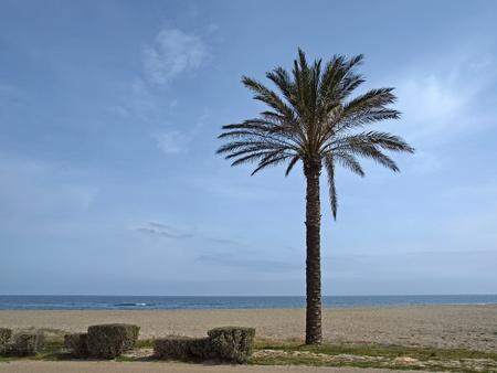 canariensis: Phoenix canariensis, Date palm, Canary Islands Date Palm near San Priamo, Sardinia, Italy, Europe Stock Photo