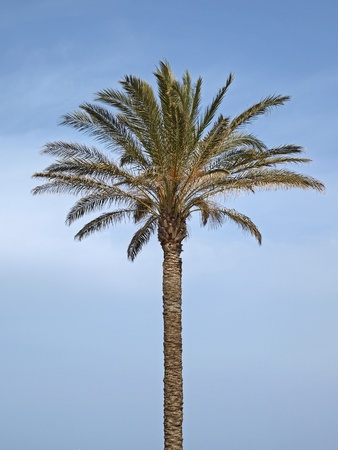 Date palm, Canary Islands Date Palm near San Priamo, Sardinia, Italy, Europe photo