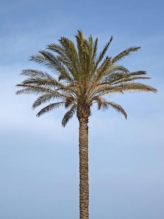 Date palm, Canary Islands Date Palm near San Priamo, Sardinia, Italy, Europe