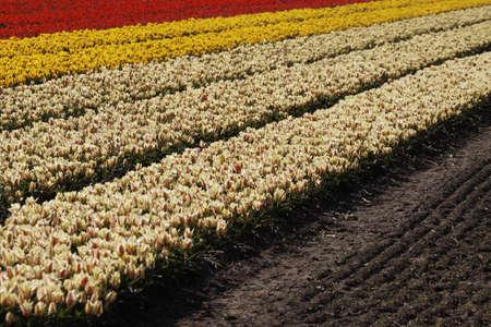 nurseries: Tulip field near Noordwijkerhout, South Holland, Netherlands, Holland, Europe Stock Photo