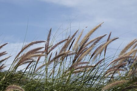 Grasses in front of a blue sky