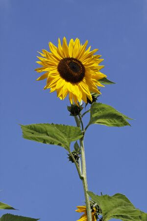 helianthus: Sunflower - Helianthus annuus Stock Photo