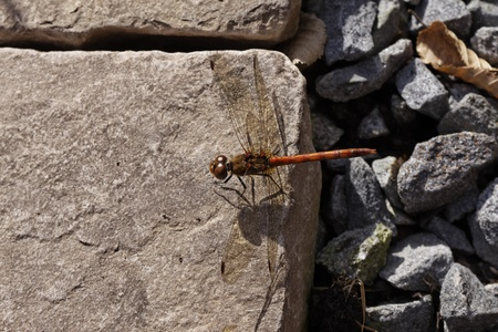 Sympetrum, Darter, Dragonfly from Germany Stock Photo - 12845256