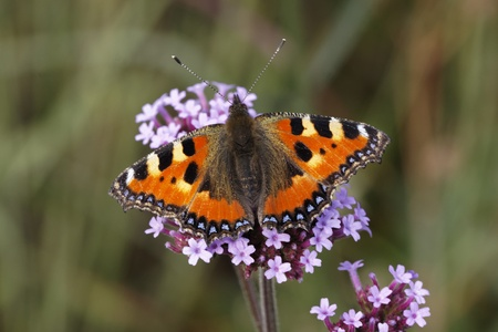 Small Tortoiseshell  Aglais urticae, Nymphalis urticae  on Verbena bonariensis  Argentinian Vervain  in Germany, Europe photo