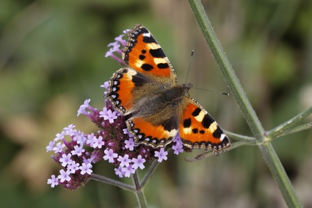nymphalis: Small Tortoiseshell  Aglais urticae, Nymphalis urticae  on Verbena bonariensis  Argentinian Vervain  in Germany, Europe Stock Photo