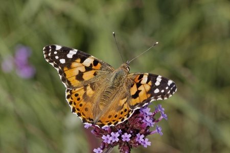 Vanessa cardui, Cynthia cardui, Painted Lady butterfly on Verbena bonariensis, Argentinian Vervain Stock Photo