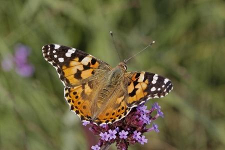 Vanessa cardui, Cynthia cardui, Painted Lady Schmetterling auf Verbena bonariensis, Argentinische Eisenkraut