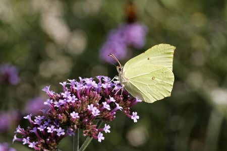 Gonepteryx rhamni, Common Brimstone, Brimstone on Purpletop Vervain, Verbena in Germany Stock Photo - 12845252
