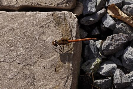 sympetrum: Sympetrum, Darter, Dragonfly from Germany Stock Photo