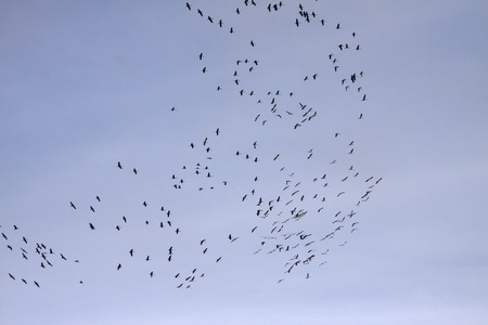 Cranes  - Grus grus , bird migration in November Banco de Imagens
