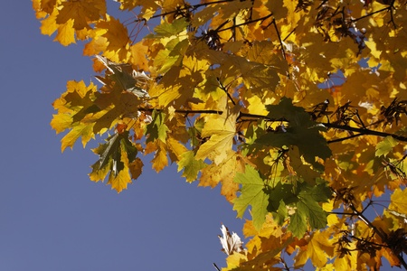 Acer platanoides, Norway maple in autumn photo