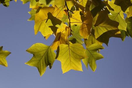 broadleaved tree: Tulip tree, American tulip tree, Tuliptree, Tulip poplar, Yellow poplar in autumn