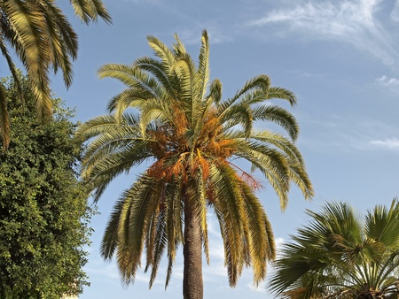 Phoenix canariensis, Date palm, Canary Islands Date Palm