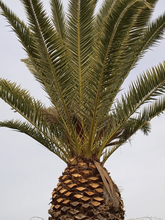 Phoenix canariensis, Date palm, Canary Islands Date Palm Stock Photo - 12970828