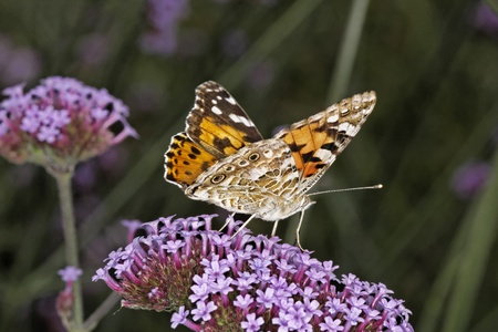 Painted Lady butterfly  Vanessa cardui, Cynthia cardui  on Verbena bonariensis, Argentinian Vervain Stock Photo - 12970910