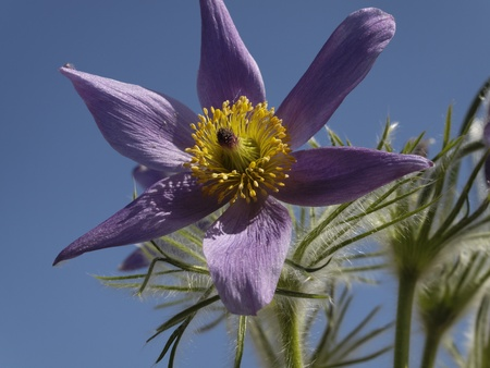Pulsatilla vulgaris, Pasque flower, Common pasque flower in Germany Stock Photo - 13041372