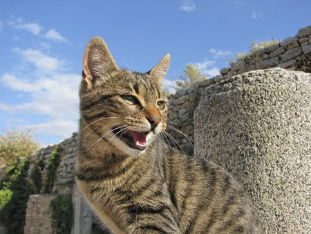 Spitting domestic cat  house-cat  on a wall  Felis silvestris catus  photo