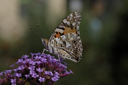vanessa: Vanessa cardui, Cynthia cardui, Painted Lady butterfly on Verbena bonariensis, Argentinian Vervain Stock Photo