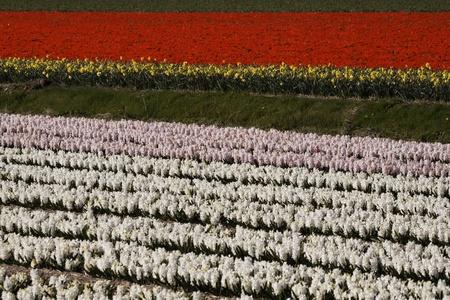 nurseries: Flower field with garden hyacinths, Hyacinthus orientalis near Noordwijkerhout, South Holland, Netherlands Stock Photo