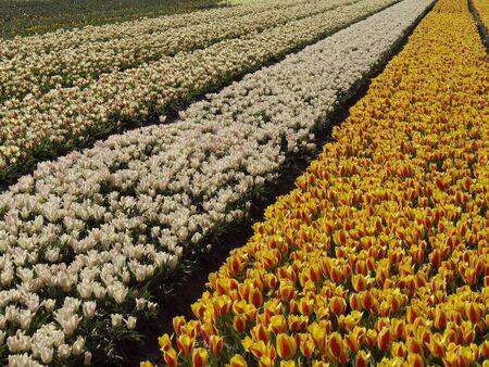lisse: Tulp veld in de buurt van Lisse, Zuid-Holland, Nederland Stockfoto