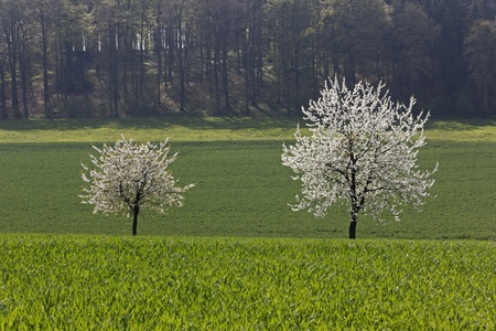 Cherry trees in spring, Holperdorp, North Rhine-Westphallia, Germany, Europe