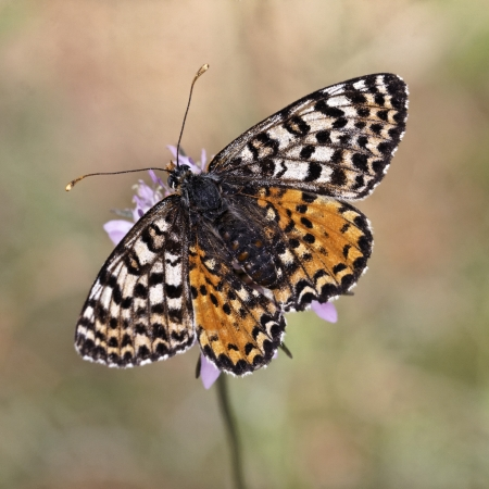 Melitaea didyma meridionalis, Spotted Fritillary or Red-band Fritillary  female  from Southern France, Europe photo