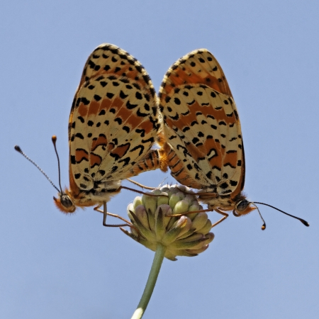 in copula: Melitaea didyma, Spotted Fritillary or Red-band Fritillary  Copula  in Southern France, Europe Stock Photo