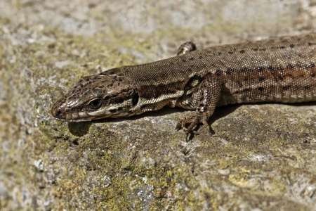 viviparous: Viviparous lizard,  Lacerta vivipara  or Common lizard in Germany, Europe