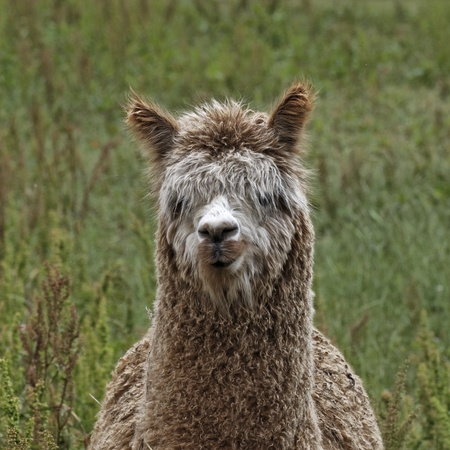 Alpaca,  Vicugna pacos , Paco on a meadow in Germany, Europe photo
