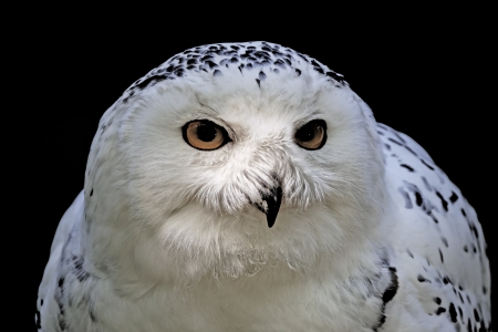 Snowy Owl,  Bubo scandiacus  Arctic Owl, Great White Owl, Icelandic Snow Owl, Harfang from Europe photo