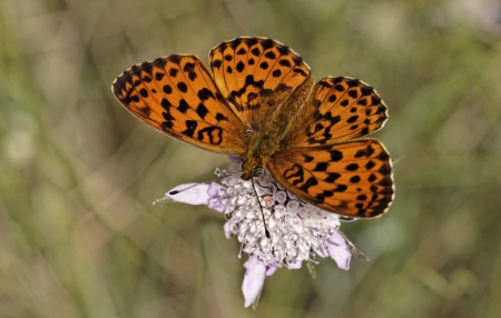 daphne: Brenthis daphne, Marbled Fritillary in Southern France, Europe Stock Photo