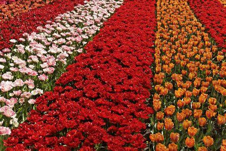lisse: Tulp veld in de buurt van Lisse, Zuid-Holland, Nederland, Europa Stockfoto