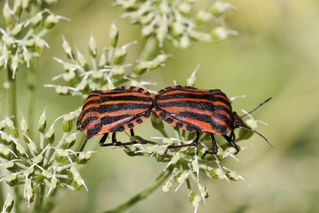 Graphosoma lineatum, Italian Striped-Bug, Minstrel Bug, Red-black Shieldbug, Red and black striped stink bug in Germany, Europe Stock Photo - 18248027