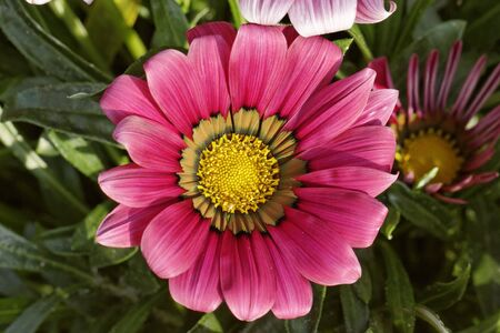 farbe: Treasure flower, Gazania splendens Kiss Mix
