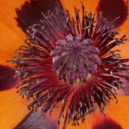 oriental poppy: Papaver orientale Tuerkenlouis, Oriental poppy Stock Photo