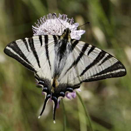Iphiclides podalirius, Scarce swallowtail, Sail swallowtail, Pear-tree swallowtail from Southern France, Europe photo