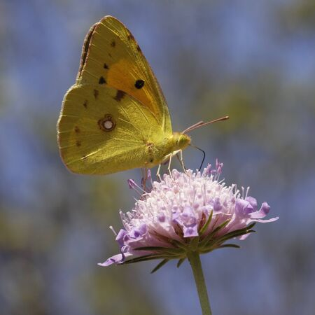 Colias crocea, Dark Clouded Yellow, Common Clouded Yellow, The Clouded Yellow, european butterfly photo