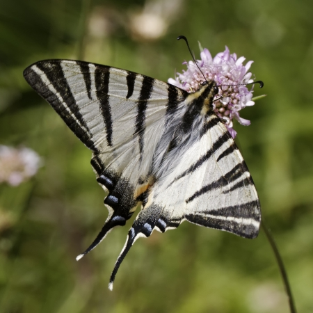 Scarce swallowtail, Sail swallowtail, Pear-tree swallowtail from Europe photo