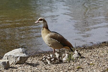 alopochen: Egyptian Goose with goslings,  Alopochen aegytiacus  in Germany, Europe