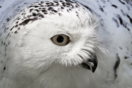 Snowy Owl, Bubo scandiacus,  Arctic Owl, Great White Owl, Icelandic Snow Owl, Harfang from Northern Europe photo