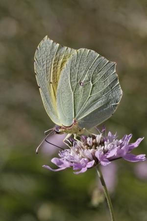 gonepteryx: Cleopatra butterfly,  Gonepteryx cleopatra  from Southern Europe