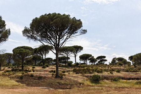 Pine forest,  Pinus pinea with Massif des Maures, Provence, Southern France  Stone pine, Italian stone pine, Umbrella pine