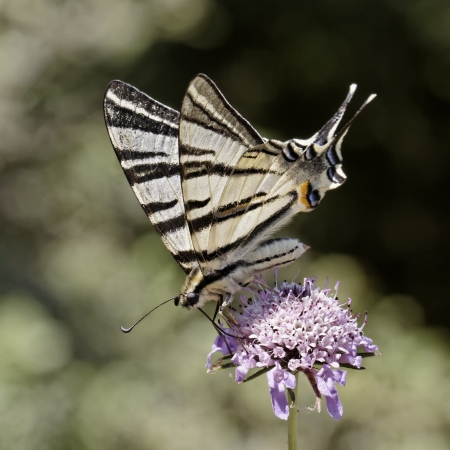 Iphiclides podalirius, Scarce swallowtail, Sail swallowtail, Pear-tree swallowtail, european butterfly photo