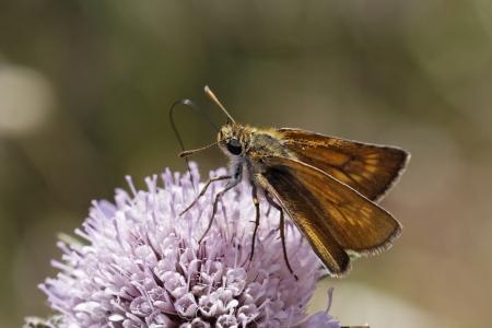 Large Skipper butterfly, Ochlodes venatus, Ochlodes sylvanus from Western Europe