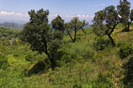 d'azur: Cap Camarat, Ramatuelle, landscape with old trees, Cote dAzur, French Riviera, Southern France