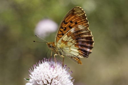 daphne: Brenthis daphne, Marbled Fritillary butterfly from Southern Europe
