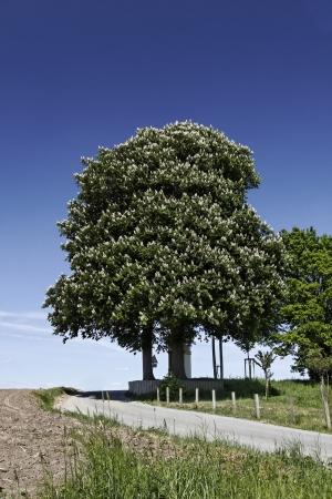aesculus hippocastanum: Horse Chestnut tree, Aesculus hippocastanum in spring, Germany, Europe